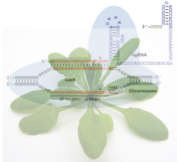 Plant Methods Thematic Series On Gene Editing
